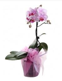 1 dal pembe orkide saksı çiçeği  Bolu kaliteli taze ve ucuz çiçekler