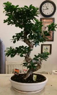 100 cm yüksekliğinde dev bonsai japon ağacı  Bolu İnternetten çiçek siparişi