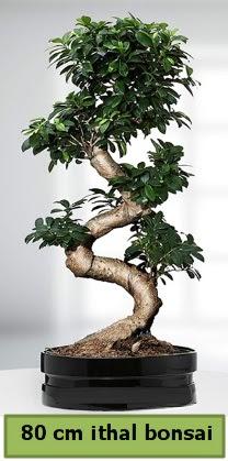 80 cm özel saksıda bonsai bitkisi  Bolu çiçekçi telefonları