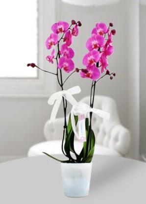 Çift dallı mor orkide  Bolu çiçekçiler