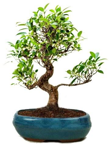 25 cm ile 30 cm aralığında Ficus S bonsai  Bolu çiçek gönderme sitemiz güvenlidir