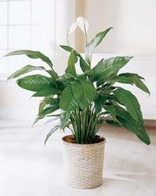 Bolu online çiçek gönderme sipariş  spatilyum ithal büyük boy