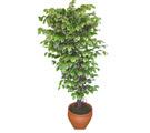 Ficus özel Starlight 1,75 cm   Bolu cicek , cicekci