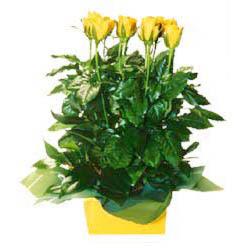 11 adet sari gül aranjmani  Bolu online çiçekçi , çiçek siparişi