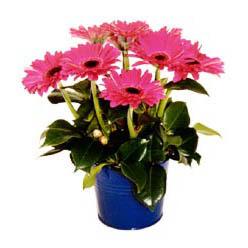 vazo içerisinde gerbera çiçekleri   Bolu online çiçek gönderme sipariş