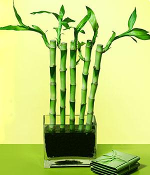 Bolu anneler günü çiçek yolla  Good Harmony Lucky Bamboo camda