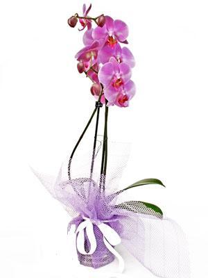 Bolu anneler günü çiçek yolla  Kaliteli ithal saksida orkide