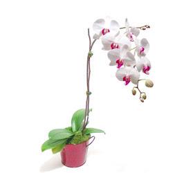 Bolu çiçek gönderme  Saksida orkide