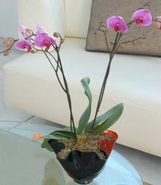Bolu çiçekçi mağazası  tek dal ikili orkide saksi çiçegi