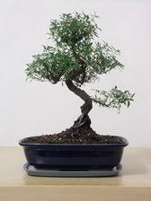 ithal bonsai saksi çiçegi  Bolu çiçek siparişi vermek