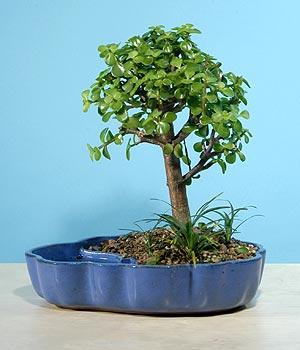 ithal bonsai saksi çiçegi  Bolu çiçekçiler
