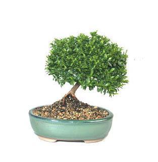 ithal bonsai saksi çiçegi  Bolu cicekciler , cicek siparisi