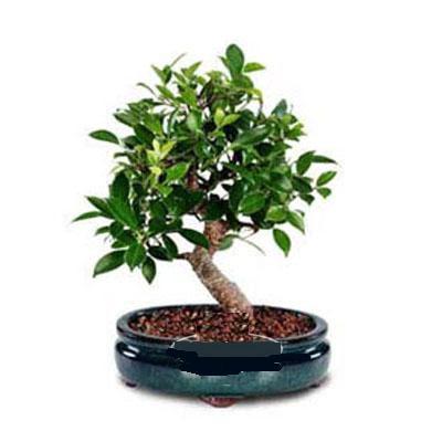 ithal bonsai saksi çiçegi  Bolu çiçek siparişi sitesi