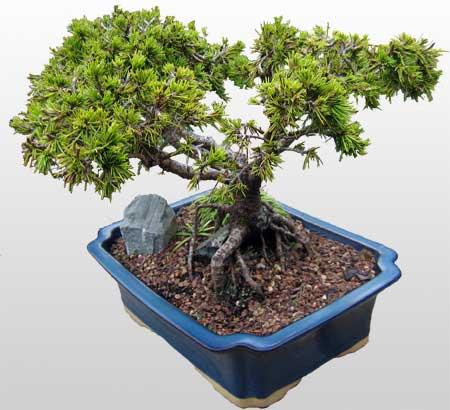 ithal bonsai saksi çiçegi  Bolu çiçekçi mağazası