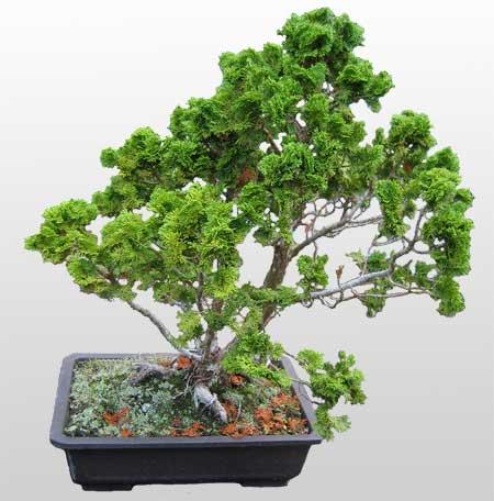 ithal bonsai saksi çiçegi  Bolu İnternetten çiçek siparişi