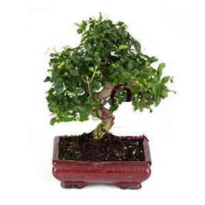 ithal bonsai saksi çiçegi  Bolu anneler günü çiçek yolla