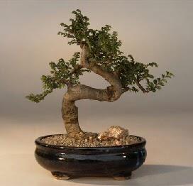 ithal bonsai saksi çiçegi  Bolu 14 şubat sevgililer günü çiçek