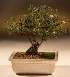 ithal bonsai saksi çiçegi  Bolu çiçek mağazası , çiçekçi adresleri