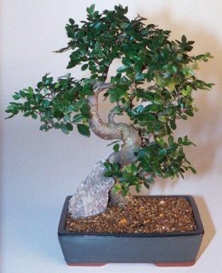 Bolu çiçek gönderme sitemiz güvenlidir  ithal bonsai saksi çiçegi  Bolu çiçek siparişi sitesi