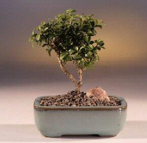 Bolu çiçek yolla  ithal bonsai saksi çiçegi  Bolu internetten çiçek satışı