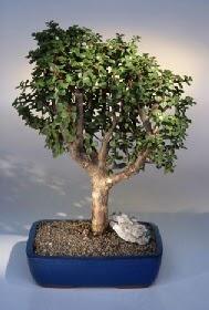 Bolu çiçek gönderme  ithal bonsai saksi çiçegi  Bolu çiçekçiler