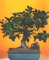 Bolu çiçekçi telefonları  ithal bonsai saksi çiçegi  Bolu internetten çiçek siparişi