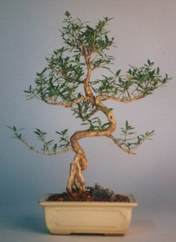 Bolu çiçek satışı  ithal bonsai saksi çiçegi  Bolu çiçek siparişi vermek