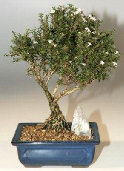 Bolu çiçek , çiçekçi , çiçekçilik  ithal bonsai saksi çiçegi  Bolu online çiçek gönderme sipariş
