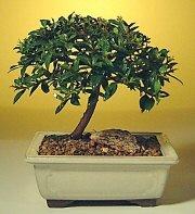 Bolu ucuz çiçek gönder  ithal bonsai saksi çiçegi  Bolu cicek , cicekci