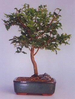 Bolu ucuz çiçek gönder  ithal bonsai saksi çiçegi  Bolu anneler günü çiçek yolla