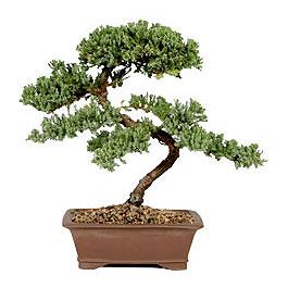 ithal bonsai saksi çiçegi  Bolu çiçek gönderme sitemiz güvenlidir
