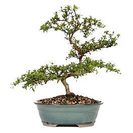Bolu İnternetten çiçek siparişi  ithal bonsai saksi çiçegi  Bolu çiçek gönderme sitemiz güvenlidir