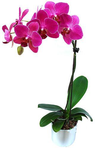 Bolu çiçekçi mağazası  saksi orkide çiçegi