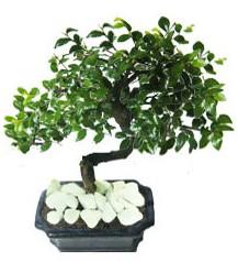 9 yasinda Bonsai agaci  Bolu yurtiçi ve yurtdışı çiçek siparişi