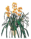 Bolu çiçekçiler  Orchiede ithal büyük boy saksi