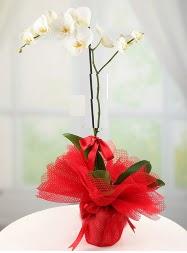 1 dal beyaz orkide saksı çiçeği  Bolu yurtiçi ve yurtdışı çiçek siparişi