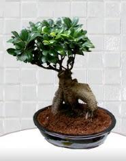 saksı çiçeği japon ağacı bonsai  Bolu kaliteli taze ve ucuz çiçekler