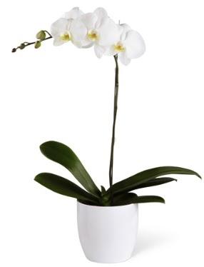 1 dallı beyaz orkide  Bolu 14 şubat sevgililer günü çiçek