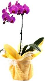Bolu çiçek siparişi sitesi  Tek dal mor orkide saksı çiçeği