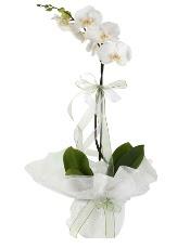 1 dal beyaz orkide çiçeği  Bolu çiçek siparişi vermek