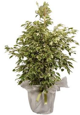 Orta boy alaca benjamin bitkisi  Bolu internetten çiçek satışı