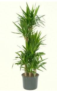 7 li yucca saksı bitkisi  Bolu çiçek servisi , çiçekçi adresleri