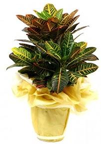 Orta boy kraton saksı çiçeği  Bolu 14 şubat sevgililer günü çiçek