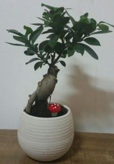 Bonsai japon ağacı saksı çiçeği  Bolu çiçek gönderme sitemiz güvenlidir