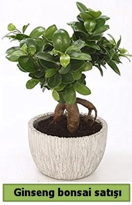 Ginseng bonsai japon ağacı satışı  Bolu çiçekçi telefonları