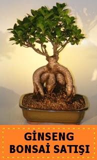 Ginseng bonsai satışı japon ağacı  Bolu cicek , cicekci