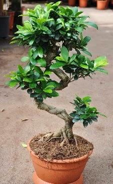 Orta boy bonsai saksı bitkisi  Bolu internetten çiçek siparişi