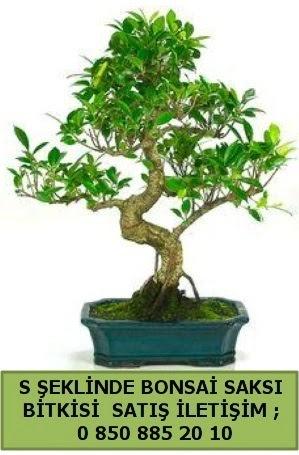 İthal S şeklinde dal eğriliği bonsai satışı  Bolu çiçek gönderme