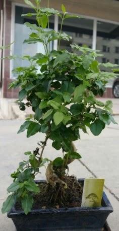 Bonsai japon ağacı saksı bitkisi  Bolu çiçek siparişi vermek