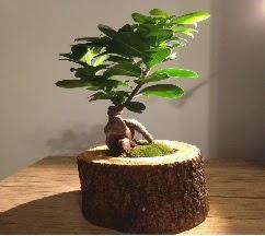 Doğal kütükte Bonsai japon ağacı satışı  Bolu internetten çiçek satışı